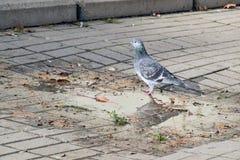 与鸟的细节,鸽子在水中 库存照片