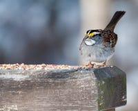 与鸟种子的麻雀 免版税库存图片