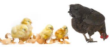 与鸡的一只母鸡 免版税库存照片