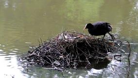 与鸡的老傻瓜在巢在Voorstonden,荷兰 股票录像