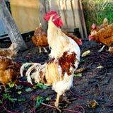 与鸡的雄鸡 免版税库存照片
