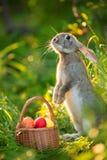 与鸡蛋篮子的复活节兔子在春天的开花背景 库存图片