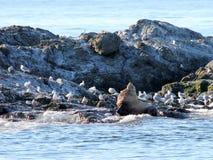 与鸥的斯特勒海狮 库存图片