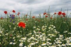 与鸦片和春黄菊2的风景 免版税库存图片