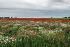 与鸦片和春黄菊15的风景 免版税库存图片