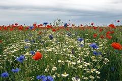 与鸦片和春黄菊3的风景 免版税库存照片