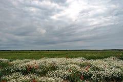 与鸦片和春黄菊7的风景 免版税库存照片