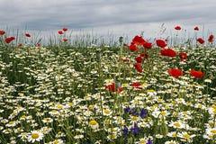 与鸦片和春黄菊1的风景 免版税库存图片