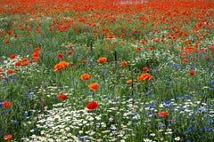 与鸦片和春黄菊13的风景 库存图片