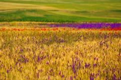 与鸦片和紫色花的麦田 免版税库存照片