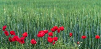 与鸦片花的美好的场面在麦田 库存照片