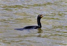 与鸬鹚游泳的背景在湖 库存图片