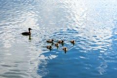 与鸭子巢的一只野鸭在水漂浮 免版税库存照片