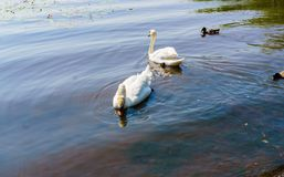 与鸭子的两只白色天鹅游泳支持 库存图片