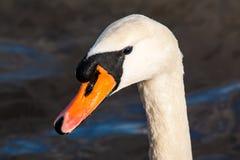 与鸭子的天鹅 免版税库存照片