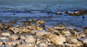 与鸭子的海边landsacpe 库存照片