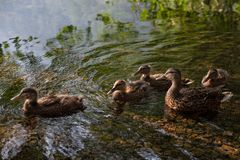 与鸭子的清早Strole 库存图片
