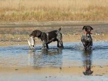 与鸭子的狩猎Dogd 库存照片