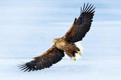 与鸷的冬天场面 与雪的大鸟 飞行白盯梢了老鹰, Haliaeetus albicilla,在thy深蓝天空,与w 免版税图库摄影