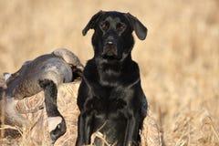 与鹅的黑拉布拉多猎犬 免版税库存图片