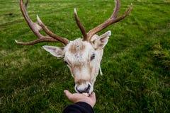 与鹿的接近的遭遇 图库摄影