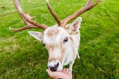 与鹿的接近的遭遇 库存图片
