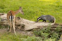 与鹿的欧洲獾獾属獾属成人 免版税库存照片