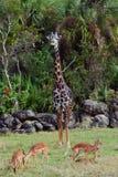 与鹿的长颈鹿 库存照片