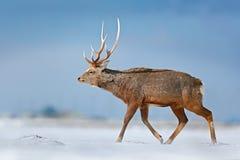 与鹿角在自然栖所,冬天场面,北海道,野生生物自然,日本的动物 北海道sika鹿,鹿日本yesoen 免版税库存照片