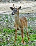 与鹿角的幼小关键鹿 库存图片