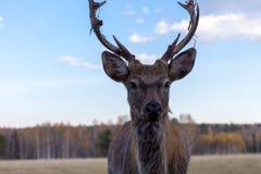 与鹿角的鹿别致在春天期间蜕变 库存照片