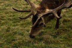 与鹿角的鹿在灌木公园伦敦关闭,吃草, 免版税图库摄影