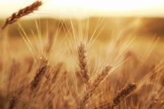与麦子的成熟金黄耳朵的美好的农村领域在backgr的 免版税库存照片