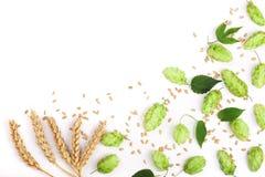 与麦子的耳朵的啤酒花球果树在白色背景特写镜头的 顶视图 库存图片