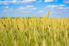 与麦子的金耳朵的领域 免版税库存照片