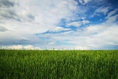 与麦子的绿色耳朵的一个领域在蓝色云彩天空的背景的 免版税库存图片