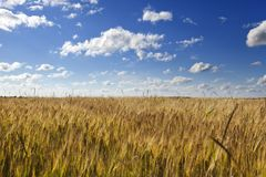 与麦子耳朵的领域在与云彩的蓝天下 库存图片