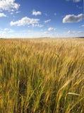 与麦子耳朵的领域在与云彩的蓝天下 图库摄影