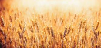 与麦子,农业农场和农厂概念的耳朵的金黄麦田 免版税库存照片