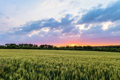 与麦田的绿色成熟的耳朵的乡下风景在日落的多云天空下 免版税图库摄影