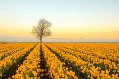 与黄水仙的一棵孤立树在一个有雾的早晨 库存照片