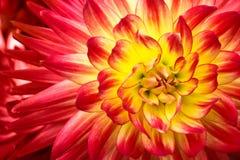 与黄色中心关闭的红色,橙色和黄色火焰颜色大丽花花宏观照片和几何样式 库存照片