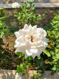 与黄色中心的玫瑰色花 图库摄影