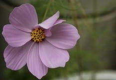 与黄色中心的紫色花 库存图片