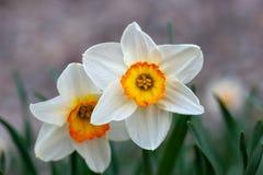 与黄色中心的美丽的白色水仙花 库存图片