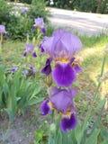 与黄色中部的紫罗兰色花在与绿色的一个厚实的高词根,以一根羽毛的形式,与叶子 免版税图库摄影
