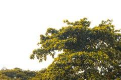 与黄色叶子和分支的秋天树在白色背景的公园 库存照片