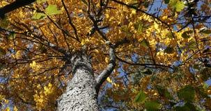 与黄色叶子的山胡桃树在秋天 影视素材
