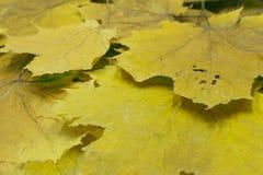 与黄色叶子的树在日落 太阳光芒 秋天自然场面 秀丽照片过滤器 免版税图库摄影