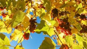 与黄色叶子的桃红色葡萄在秋天时间 库存照片
